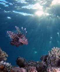 Lionfish taken late afternoon in Sharksbay with E300. by Nikki Van Veelen